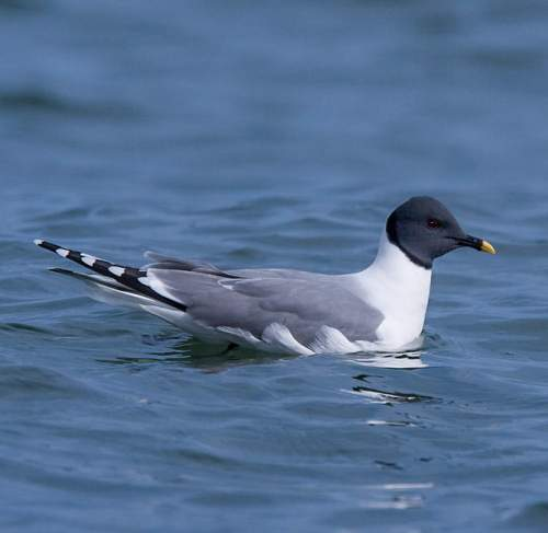 Indian birds - Image of Sabine's gull - Xema sabini