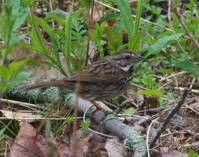 Song Sparrow (Melospiza melodia