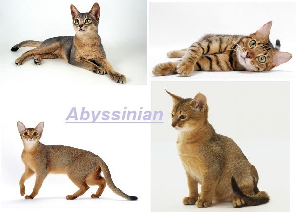 Abyssinian