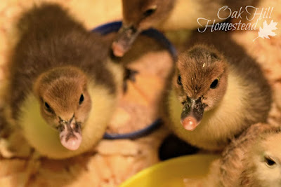 Getting My Ducks in a Row, shared by Oak Hill Homestead at The Chicken Chick's Clever Chicks Blog Hop