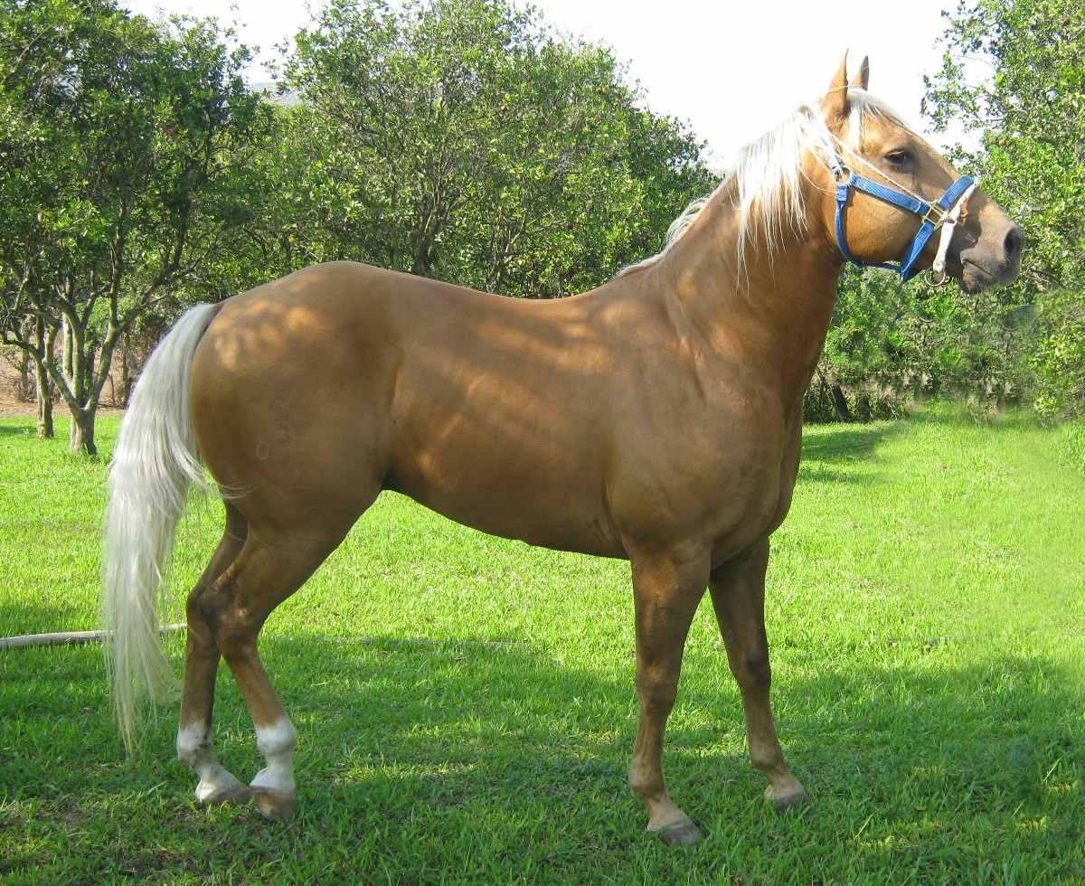 Sobre Cuarto De Milla O Quarter Horse