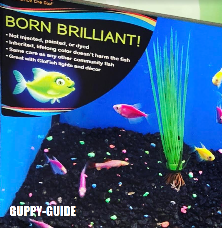 Guppy-Guide: GloFish Facts