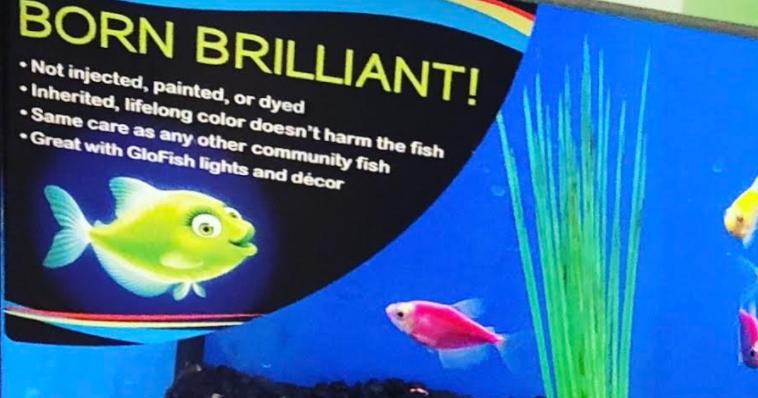 Guppy-Guide: GloFish Facts