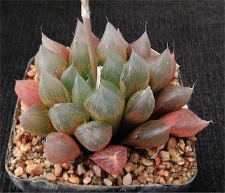 Haworthia cooperi - Brack Kloof 271019A