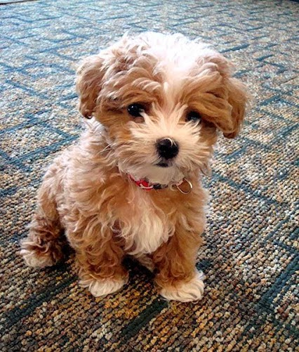 fluffy miniature dogs - photo #34
