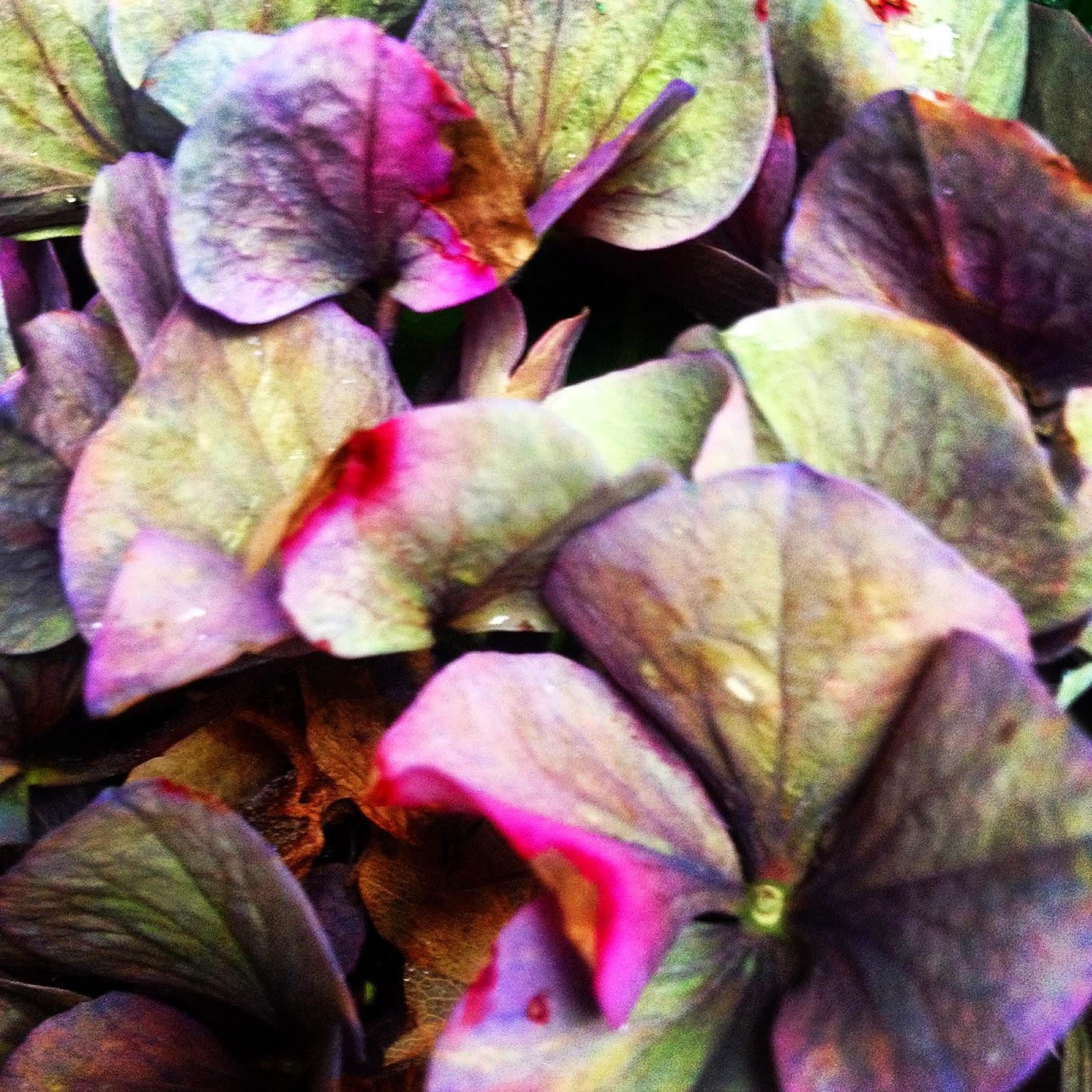 Hydrangea in the Fall