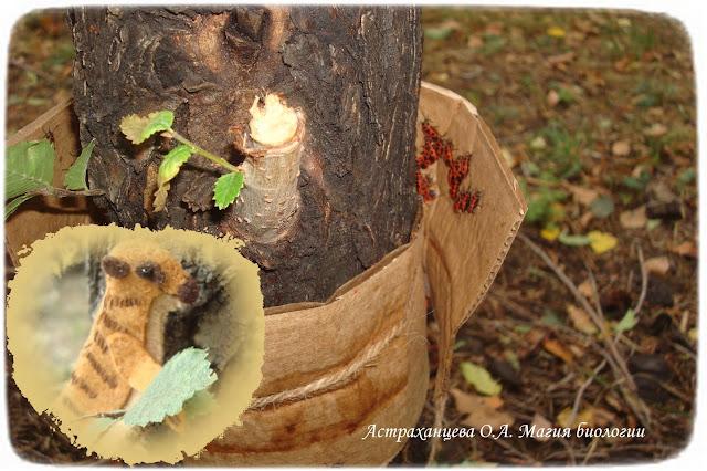 как-сделать-ловчий-пояс-для-изучения-насекомых