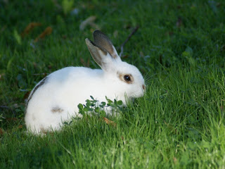 Lapin domestique - Oryctolagus cuniculus domesticus