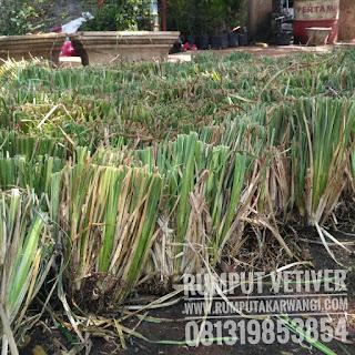 Rumput Vetiver, Bibit Rumput Akar Wangi, Rumput Pencegah Tanah Longsor, Jual Rumput Vetiver Murah, Rumput Tebing, Rumput Akar Wangi.