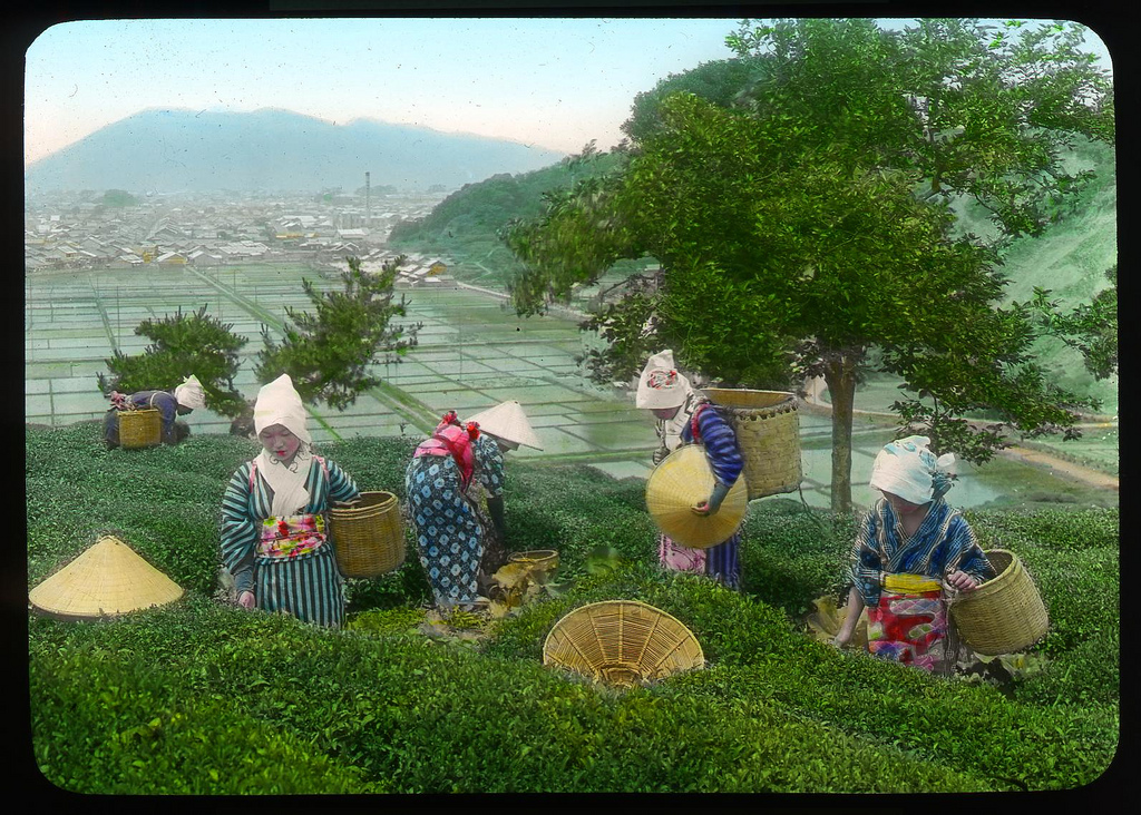 Chùm ảnh xưa về trà Nhật Bản 2