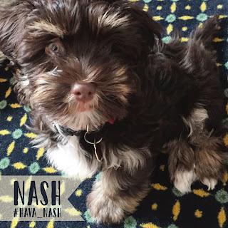 LostBumblebee ©2019 MDBN Nash Brownstone #hava_nash, havanese, puppy