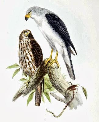 Gavilán cabeza gris Accipiter poliocephalus