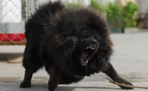 Ám ảnh những vụ chó Ngao Tây Tạng tấn công cắn chết người