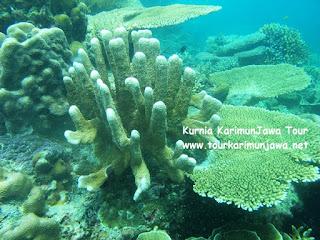 ekosistem terumbu karang di pulau kecil karimun jawa