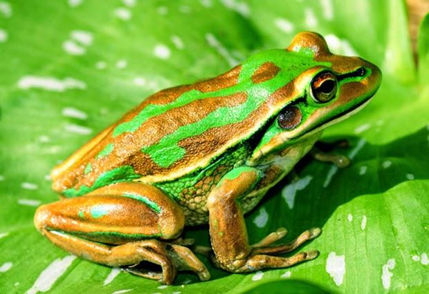 Fotografia rana verde y pardo