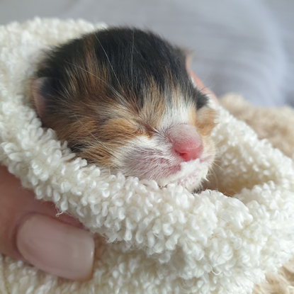 calico kitten wrapped in towel
