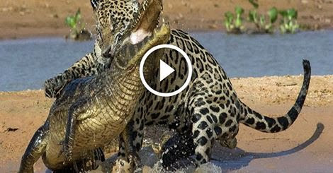 Amazing! Tiger Devastating Attack On Crocodile. Fight to Death - Watch this
