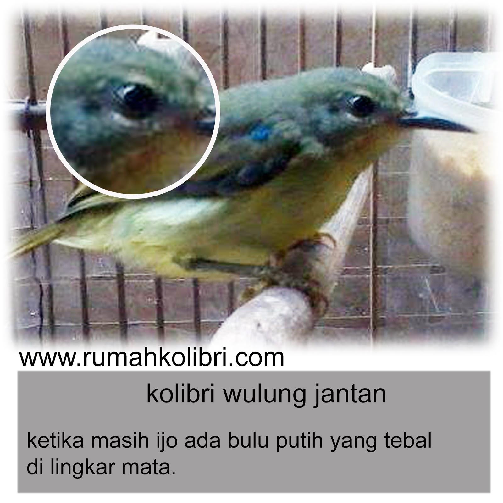 Cara Membedakan Jantan Betina Kolibri Wulung