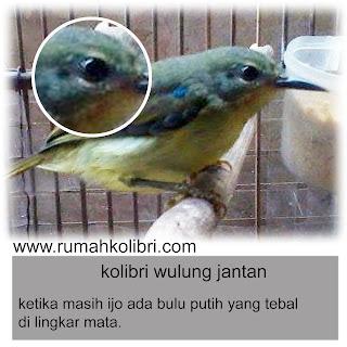 kolibri wulung