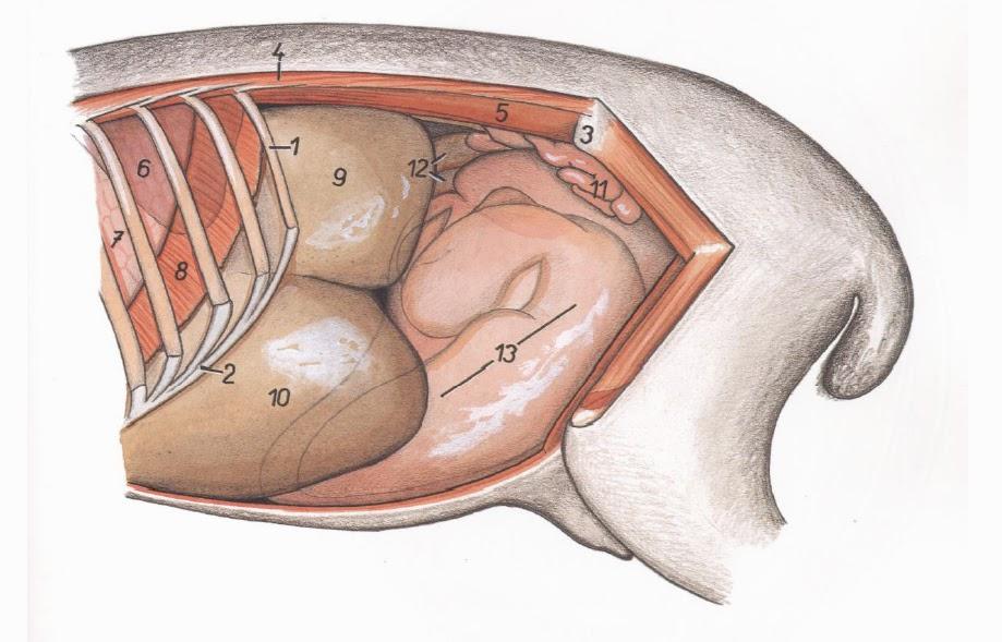 Anatomía Organos Internos