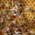 Campesino muere piqueteado por un enjambre de abejas mientras sacaba miel en Matagalpa