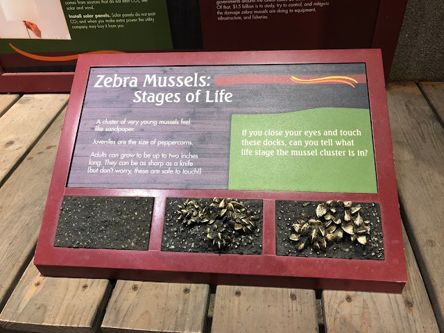 Zebra mussels are one of the invasive species affecting the Great Lakes.