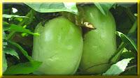 gambar buah erbis, barbadine