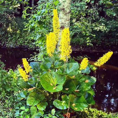 korkea keltakukkainen kasvi koivun juurella suuret pyöräet lehdet nauhus