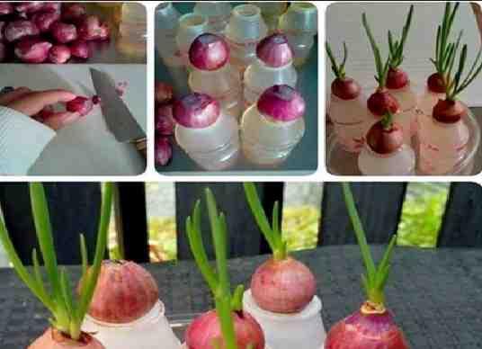 penelitian pertumbuhan bawang merah