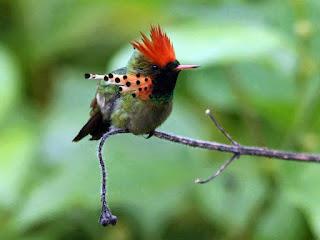 A foto em fundo verde desfocado mostra um Beija-flor-de-leque-canela (Lophornis ornatos), pousado próximo à extremidade de um galho fino, felpudo e bem curvado, onde na ponta voltada para baixo, há três pequeninos botões por abrir. A ave tem a plumagem fina e delicada, no alto da cabeça: marrom-esverdeado, coberto pelo vermelho de penas pontudas em forma de leque; olho pequeno, redondo e preto; bico fino e comprido; no fronte e garganta: em degradée do verde escuro ao verde-abacate brilhante; no peito e corpo: verde claro-escuro misturado com cinza e vermelho-claro; nas laterais do pescoço há penas compridas que adornam e destacam-se pelos tons avermelhados, e nas extremidades são finalizadas em pontos enegrecidos; a cauda é longa em marrom-pálido e as garras pretas.