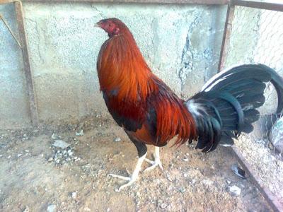 gallo de pelea en corral