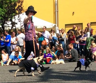 Pug and Boston terrier in Parade of Pugs as ballroom dancers