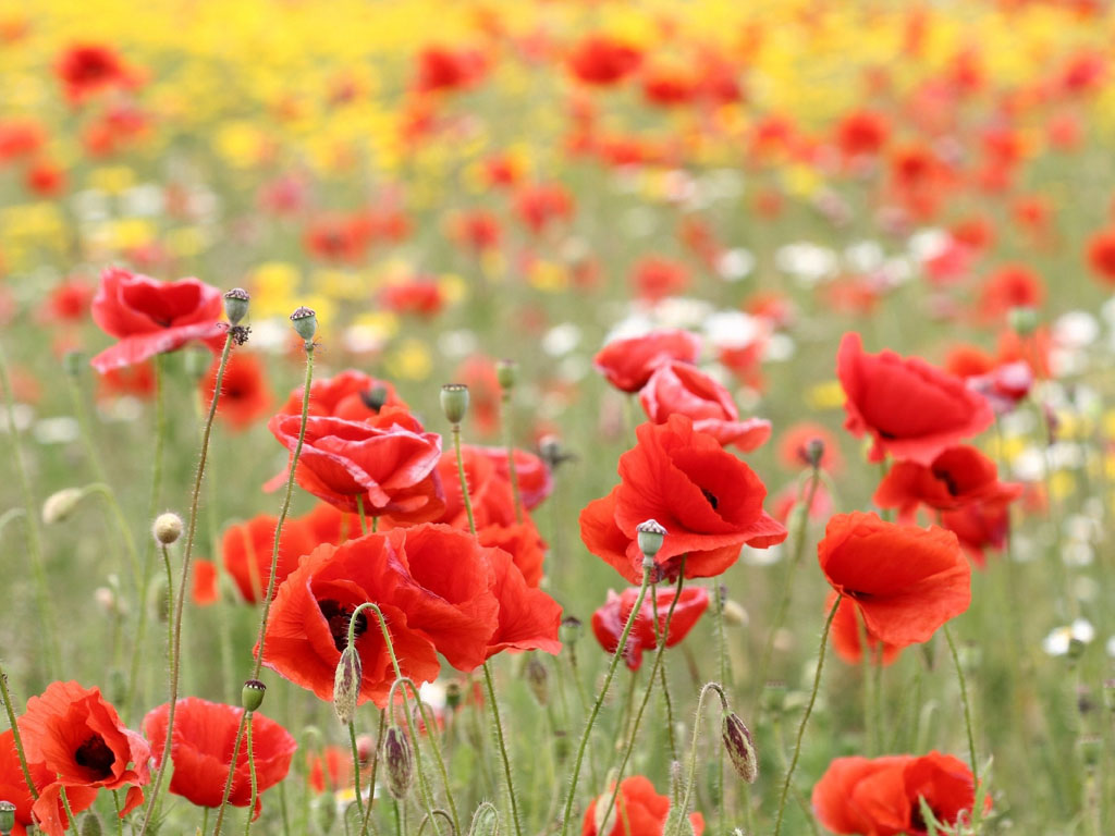 wallpapers: Poppy Flowers Desktop Wallpapers