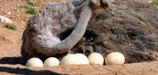 فوائد بيض النعام للبشره والتخسيس