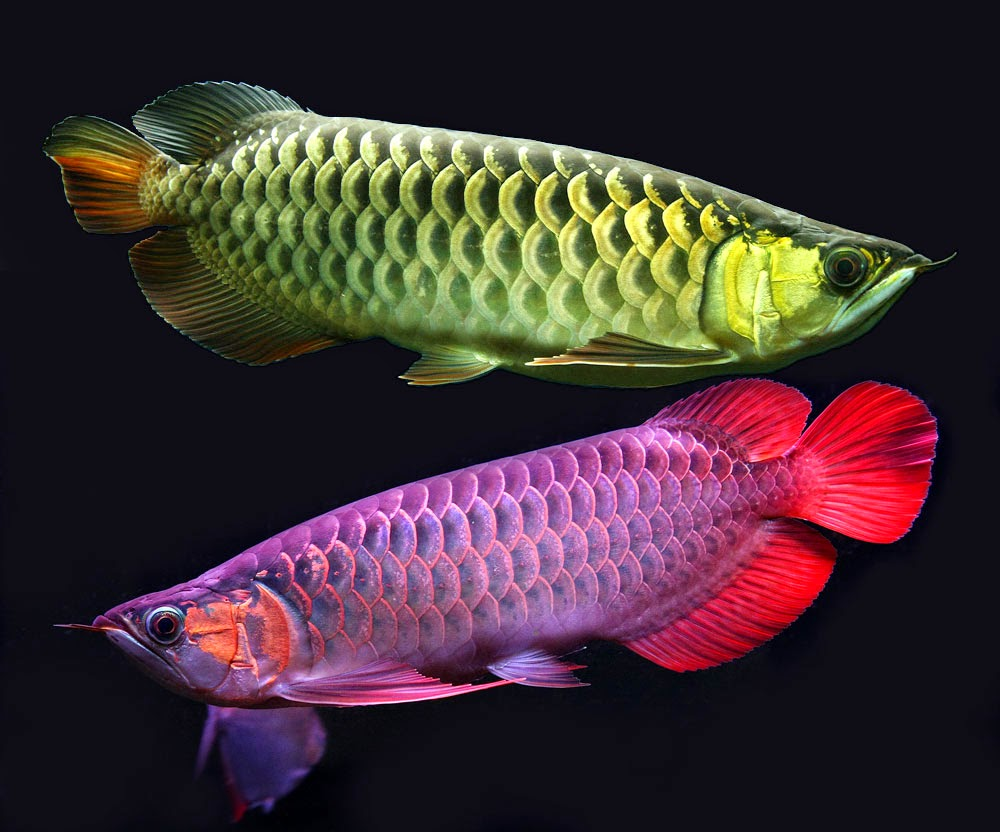 arowana fish hd wallpapers