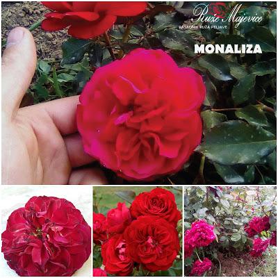 Sadnice ruža, rasadnik ruža Ruže Majevice, crvena floribunda Monaliza