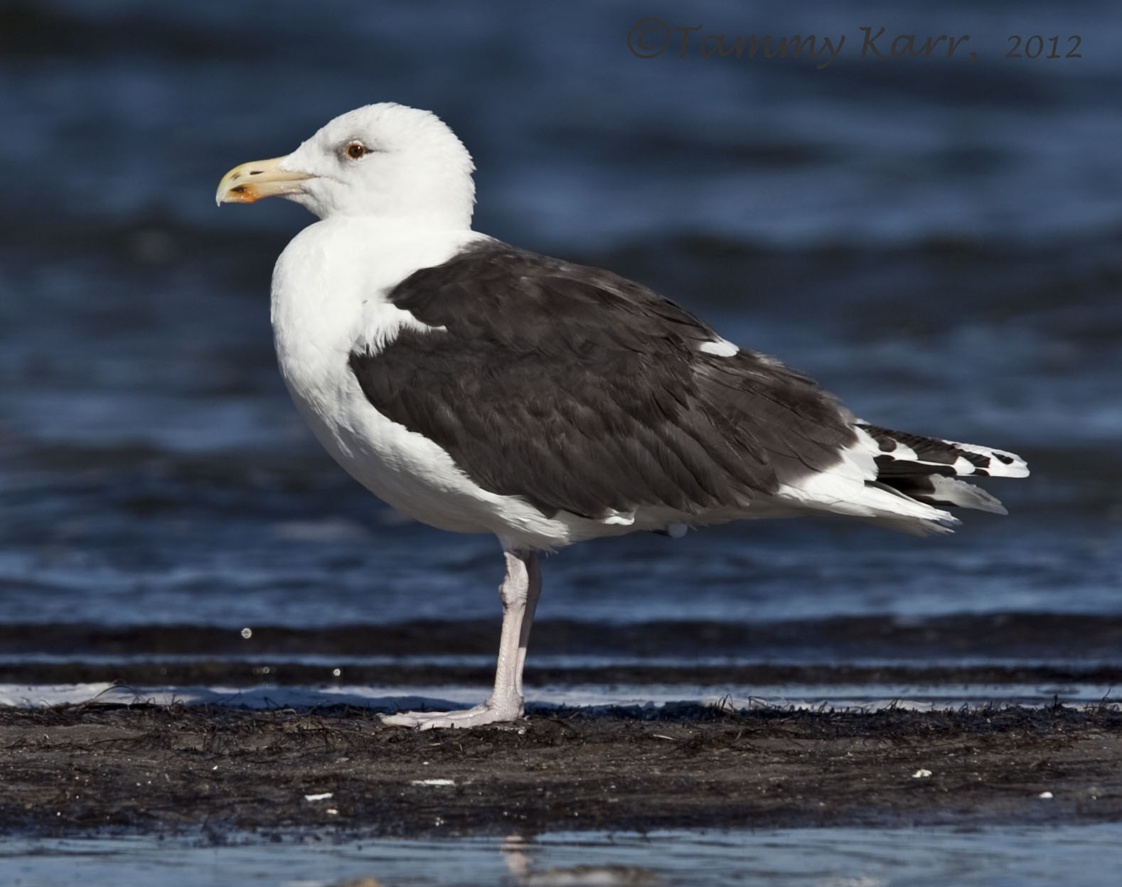 i heart florida birds: Great Black-backed Gull