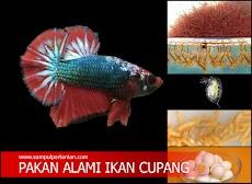 Inilah pakan alami ikan Cupang agar cepat besar yang mudah dicari