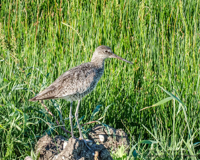 Western Willet. © Shelley Banks, 2013, all rights reserved.