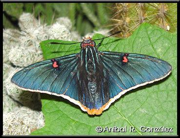Mariposa polibio Phocides polybius