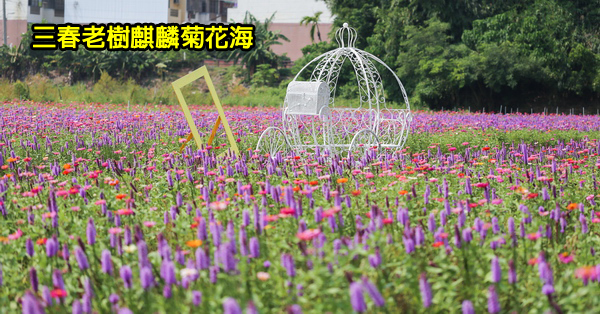 《彰化.花壇》三春老樹麒麟菊花海|紫色夢幻|三家春彩繪牆|稻田彩繪|免費參觀