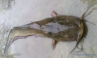 Whitelipped Eel Catfish