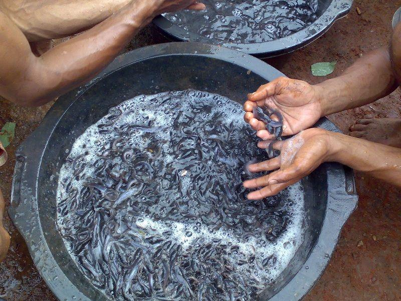 Cara Penetasan Telur Ikan Lele