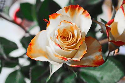 Hoa hồng đẹp nhất thế giới tặng người yêu 5