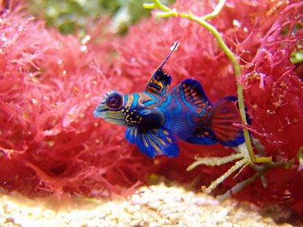O que difere os machos das fêmeas de peixe-mandarim é que os machos são tipicamente maiores e apresentam extensões nas nadadeiras dorsal e anal. Também é mais comum os machos possuírem cores mais bem distribuídas e brilhantes que as fêmeas, embora isso nem sempre aconteça.