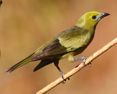 argentinian birds Palm Tanager