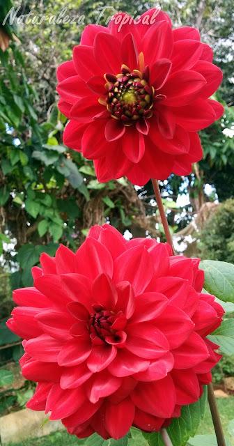 Flores de una Dalia, género Dahlia