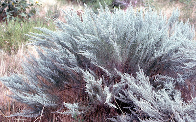 sagebrush, Artemisia