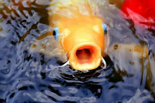 Makanan Ikan Hias Yang Bagus Alami dan Buatan