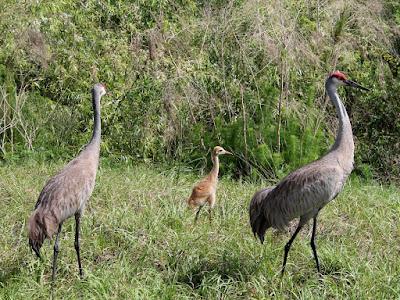 Grullas o Sandhill Cranes